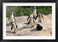 Framed African Penguin colony at Boulders Beach, Simons Town on False Bay, South Africa