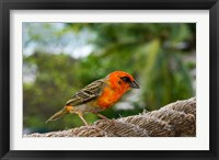 Framed Colorful Bird on Fregate Island, Seychelles, Africa