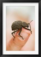 Framed Endemic Fregate Island Beetle, Seychelles