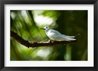 Framed Fairy Turns on Fregate Island, Seychelles