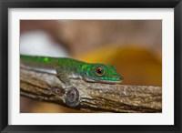 Framed Gecko lizard, La Digue Island, Seychelles, Africa