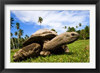 Framed Giant Tortoise on Fregate Island, Seychelles