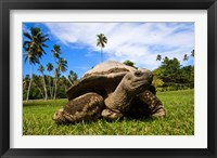 Framed Close Up of Giant Tortoise, Seychelles