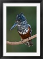Framed Africa. Tanzania. Giant Kingfisher in Manyara NP.