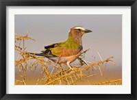 Framed Africa. Tanzania. Rufous-crowned bird, Manyara NP