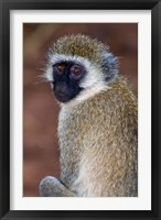 Framed Africa. Tanzania. Vervet Monkey in Tarangire NP.