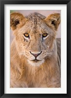 Framed Africa. Tanzania. Young lion in Tarangire NP