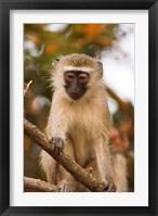 Framed Africa; Malawi; Lengwe National Park; Vervet monkey