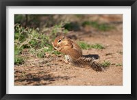 Framed African Ground Squirrel Wildlife, Kenya