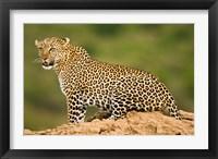 Framed African Leopard, Masai Mara Game Reserve, Kenya
