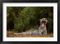 Framed African Leopard, Masai Mara GR, Kenya