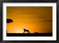 Framed African Lion Chasing Gazelle, Masai Mara, Kenya