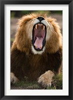 Framed African Lion, Masai Mara GR, Kenya