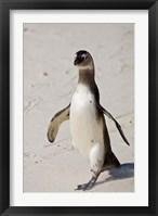 Framed African Penguin, Boulders beach, South Africa