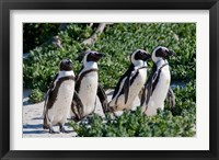 Framed Group of African Penguins, Cape Town, South Africa