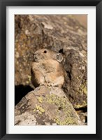 Framed American Pika in rocks, Yellowstone NP, USA