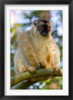 Framed Brown Lemur in a tree in Madagascar