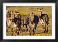 Framed Cape Mountain Zebra, Bushmans Kloof, South Africa