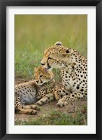 Framed Cheetah with cub in the Masai Mara GR, Kenya
