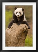 Framed China, Wolong Panda Reserve, Baby Panda bear on stump