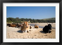 Framed Cows, Farm Animal, Coffee Bay, Transkye, South Africa