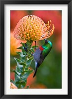 Framed Double-collared Sunbird, South Africa-collared Sunbird, South Africa