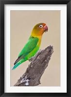 Framed Fischer's Lovebird tropical bird, Ndutu, Tanzania