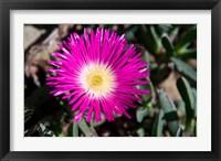 Framed Pink Flower, Kirstenbosch Gardens, South Africa