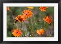 Framed Orange Flowers, Kirstenbosch Gardens, South Africa