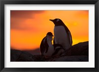 Framed Gentoo Penguins Silhouetted at Sunset on Petermann Island, Antarctic Peninsula