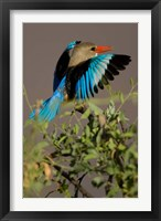 Framed Grey-headed Kingfisher, Masai Mara GR, Kenya