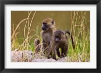 Framed Baboons in the bush in the Maasai Mara Kenya. (RF)