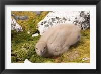 Framed Brown skua bird chick, western Antarctic Peninsula