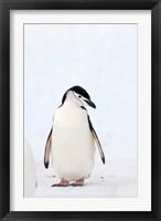 Framed Chinstrap Penguin, The South Shetland Islands, Antarctica