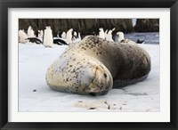 Framed Chinstrap Penguins and Leopard Seal, The South Shetland Islands, Antarctica