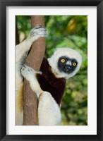 Framed Coquerels Sifaka primate, Ankarafantsika, Madagascar