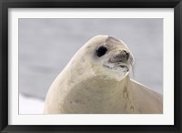 Framed Close up of Crabeater seal, Antarctica
