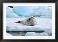 Framed Crabeater seal lying on ice, Antarctica