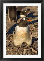 Framed Gentoo penguin, South Shetland Islands, Antarctica