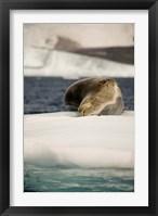 Framed Antarctica. Leopard seal adrift on ice flow.
