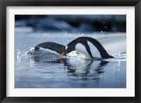 Framed Antarctica, Anvers Island, Gentoo Penguins diving into water.