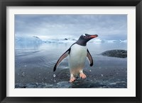 Framed Antarctica, Cuverville Island, Gentoo Penguin leaping onto shore.