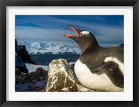 Framed Antarctica, Livingstone Island, Flash portrait of Gentoo Penguin.