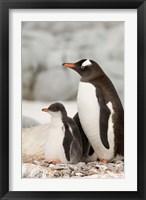 Framed Antarctica, Petermann Island, Gentoo Penguins