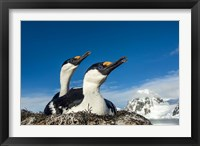 Framed Blue-eyed Shags, Antarctica.
