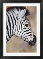 Framed Burchell's Zebra, Etosha National Park, Namibia