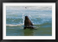 Framed Cape fur seal, Arctocephalus pusilus, Skeleton Coast NP, Namibia.