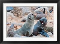Framed Cape Fur seals, Skeleton Coast, Kaokoland, Namibia.