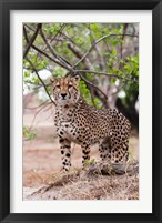 Framed Cheetah, Kapama Game Reserve, South Africa