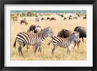 Framed Common Zebra or Burchell's Zebra, Maasai Mara National Reserve, Kenya